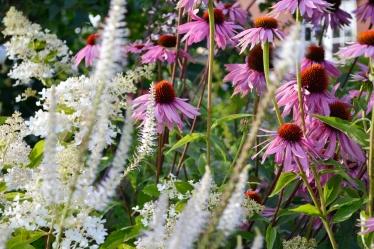 Echinacea purp. `Dubbeldecker, Hydrangea pan.