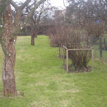 Baksidan före- stängselstaket med bärbuskar och fruktträd på rad.
