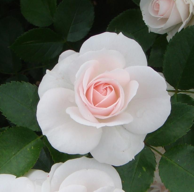Aspirin_rose_(7592668410)